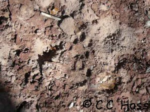 Mountain lion track along Cienega Creek