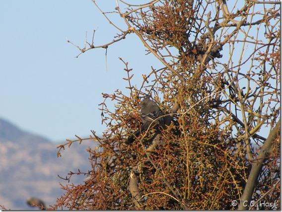 Female Phainopepla eating mistletoe berries