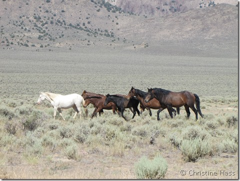 Wild horses in the Great Basin