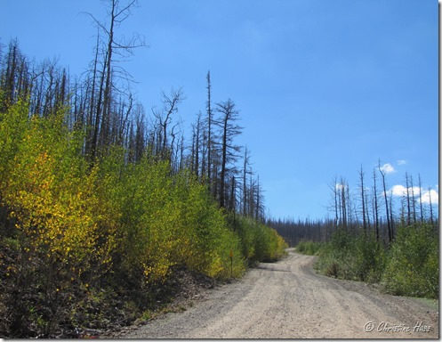 Aspen stands coming back after 2011 Wallow Fire