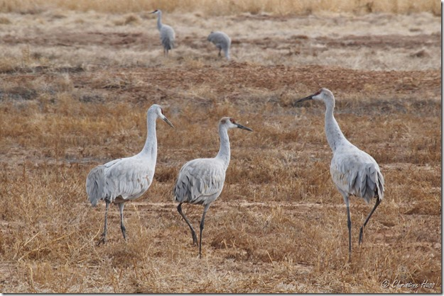 Family group of Sandhill cranes