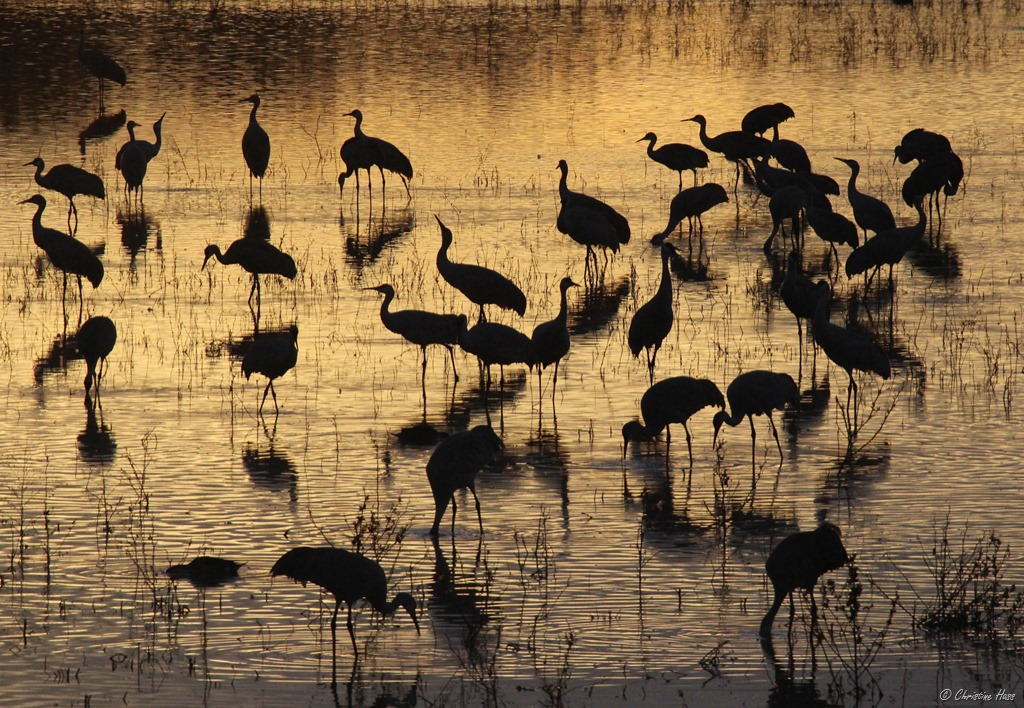 Crane reflections, Bosque del Apache.