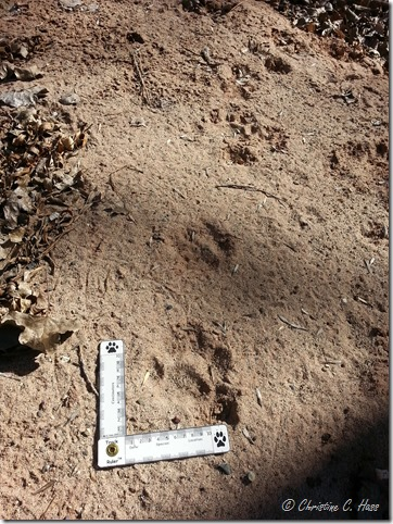 Mountain lion tracks on the bank of Mattie Creek