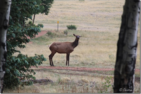 An elk cow near camp.