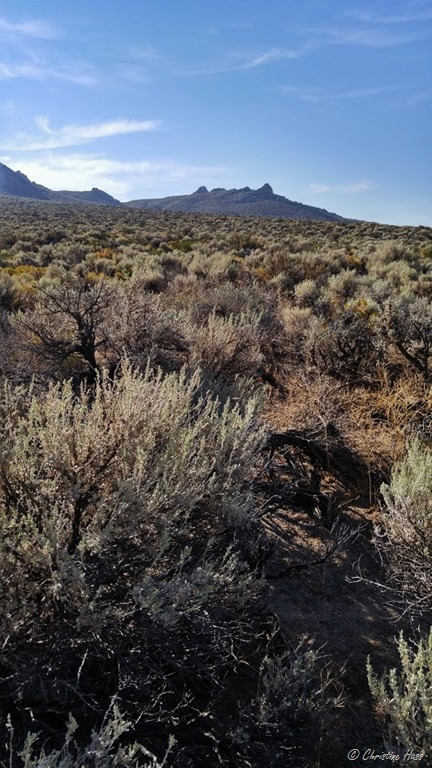 Sagebrush, ephedra, and rabbit brush in western Nevada.
