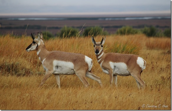 A couple of young pronghorn bucks.