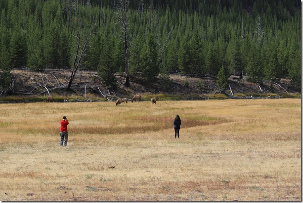 A couple of people approach a group of elk to take photos. The bull is just out of the photo on the right. The man is holding a pointt-and-shoot camera and the woman is holding an iPad.