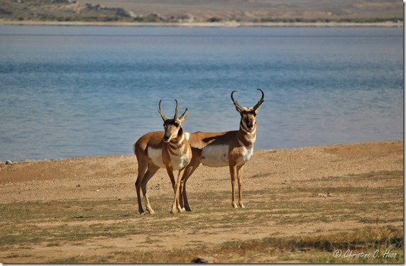 Two of the pronghorn bucks that let me share their beach.